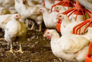 Res-Drob podnosi standardy whodowli kurczaków